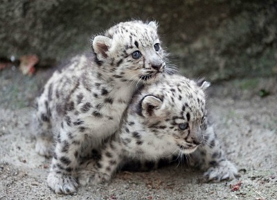 Snow Leopard Pictures And Habitat